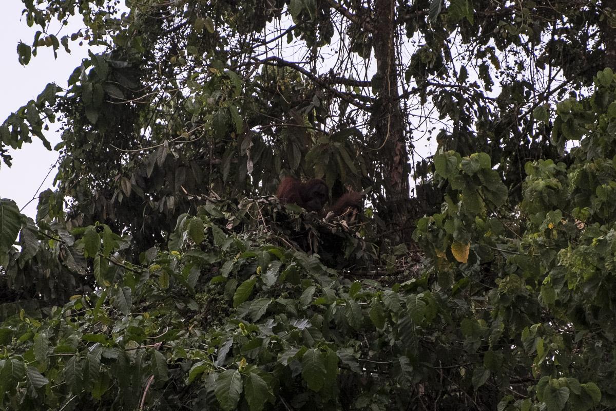 Our first glimpse of a wild orangutan