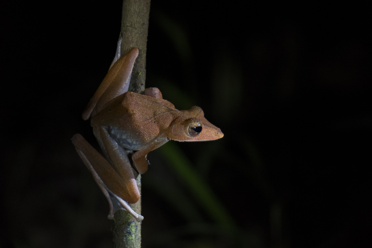 Kinabatangan Tree Frog