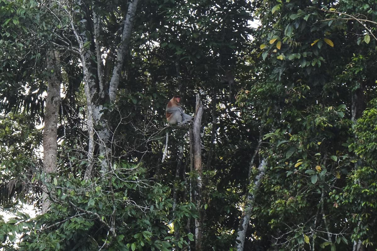 A male proboscis monkey