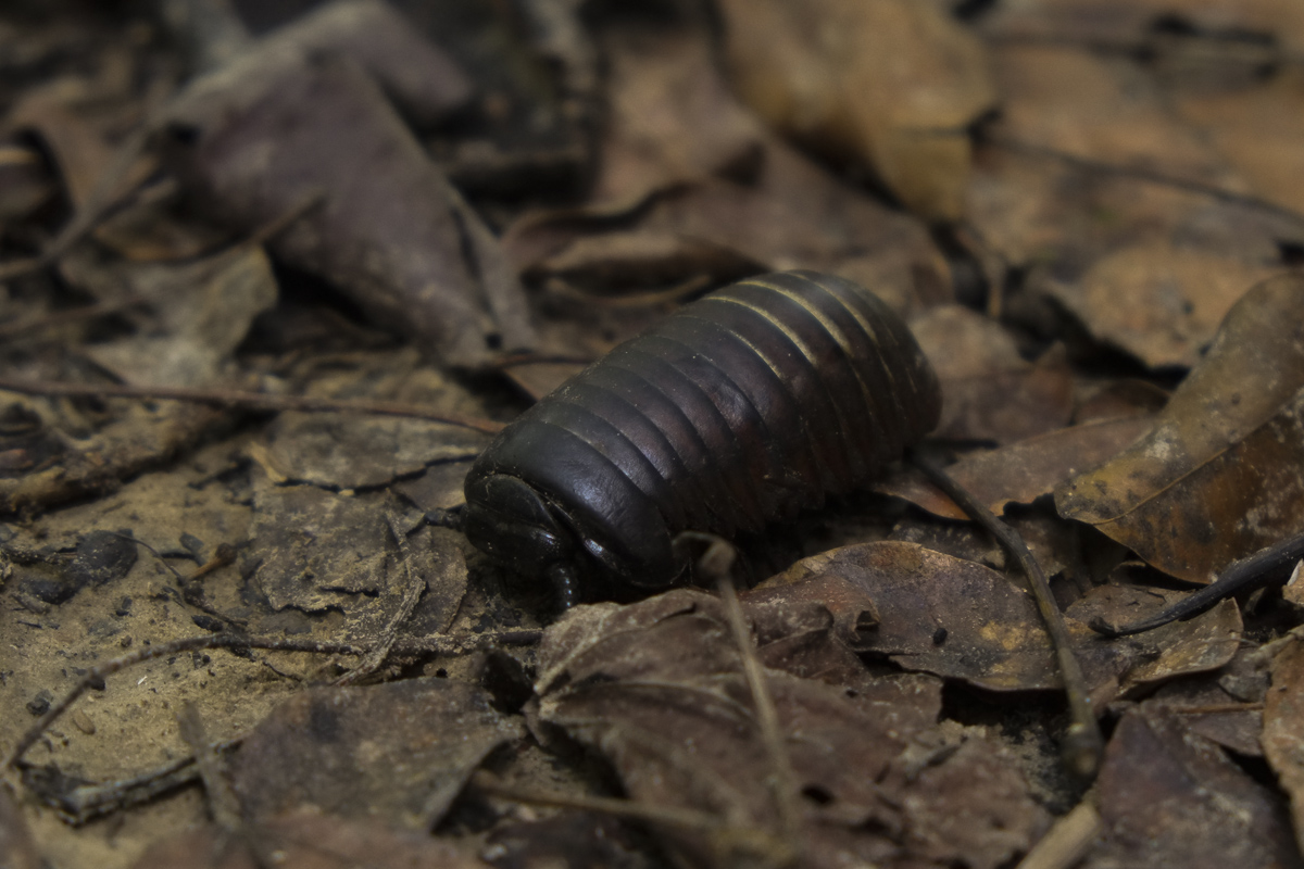 A pill bug in the undergrowth