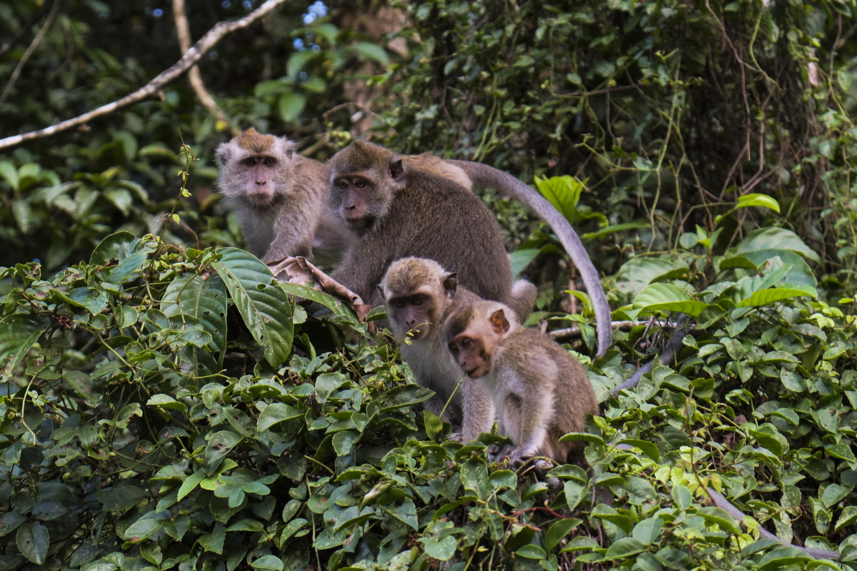 Borneo Long Tail Macaques