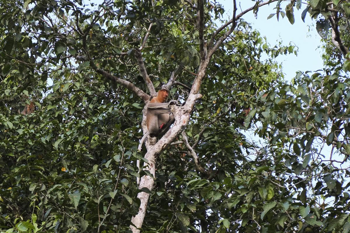 Borneo Proboscis Monkey