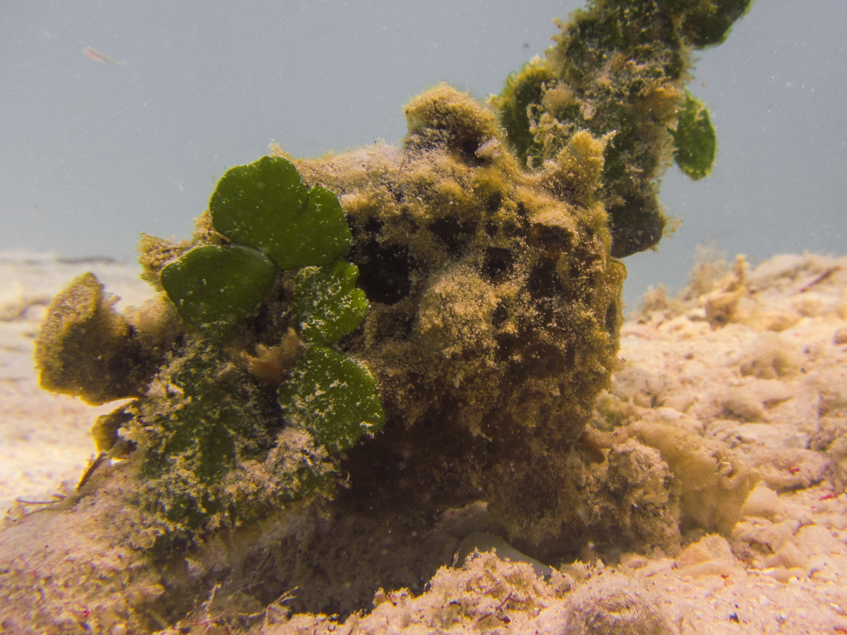Spot the highly camouflaged frogfish!