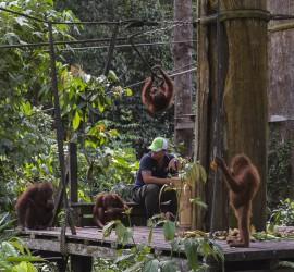 Borneo Sepilok Orangutans