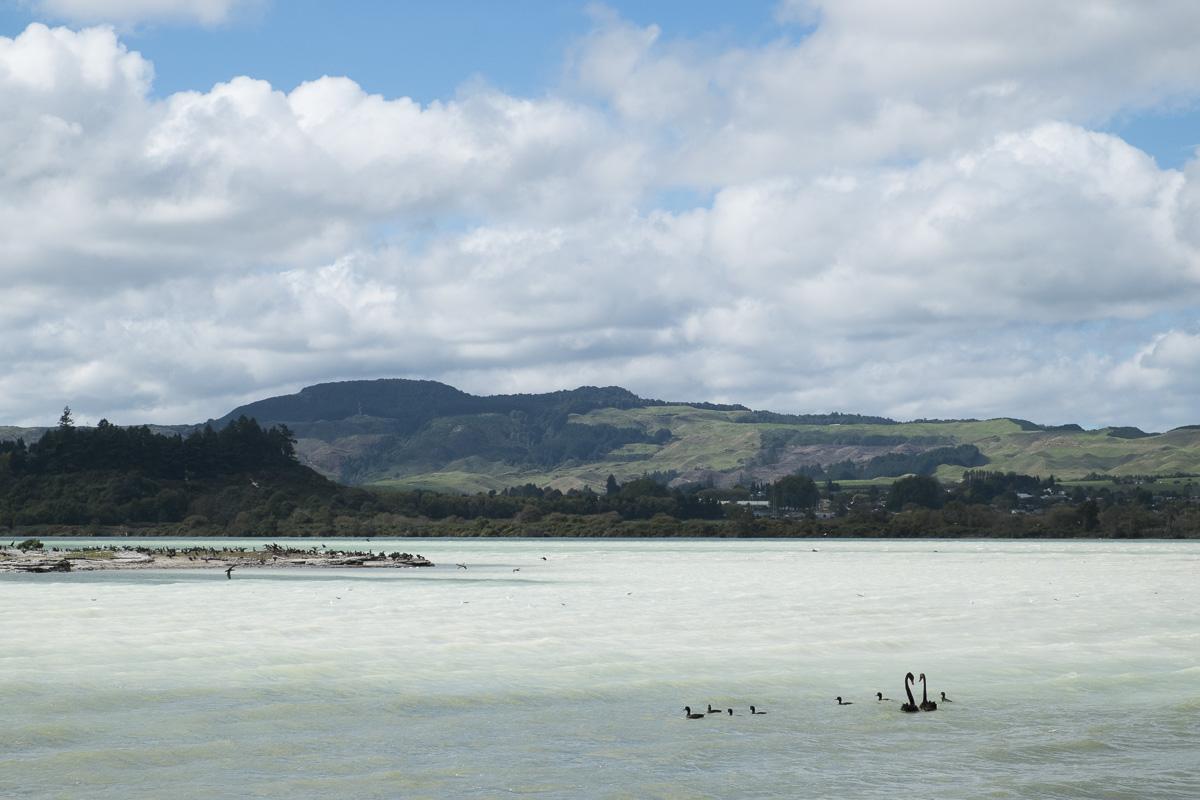 Lake Rotorua Swans